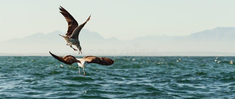 Walczący seagulls obrazy royalty free
