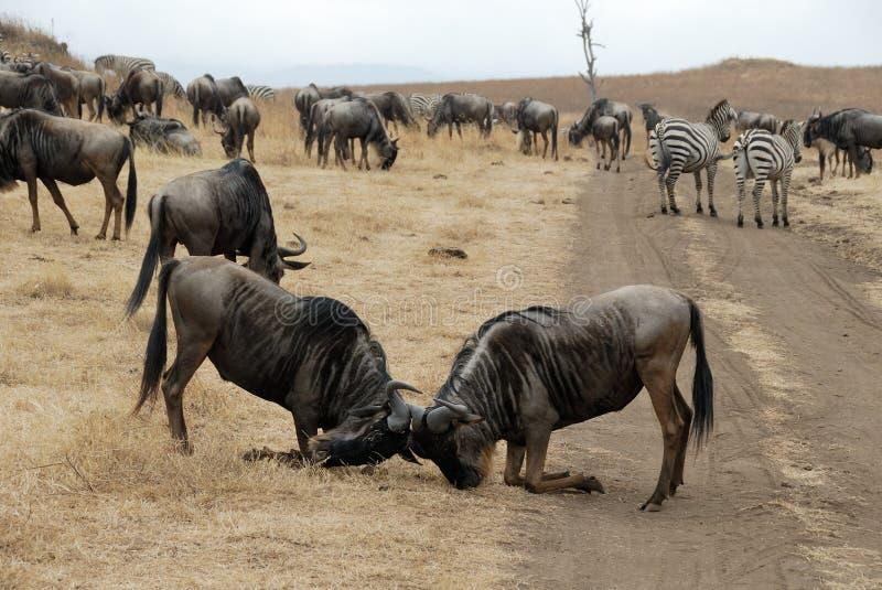 Walczący wildebeests, Ngorongoro krater, Tanzania zdjęcia stock