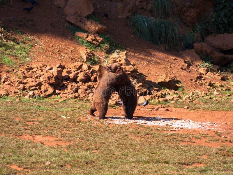 Walczyć dwa brown niedźwiedzi zdjęcie royalty free