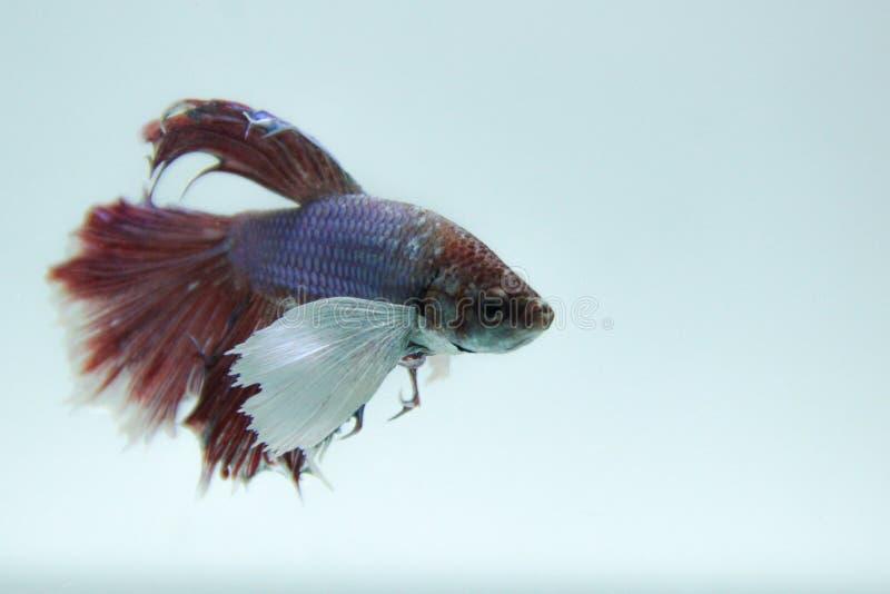 Walczyć fish2 zdjęcie royalty free