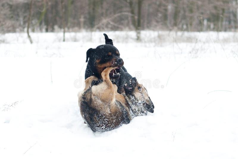Walczyć psa rottweiler i małego psa fotografia stock