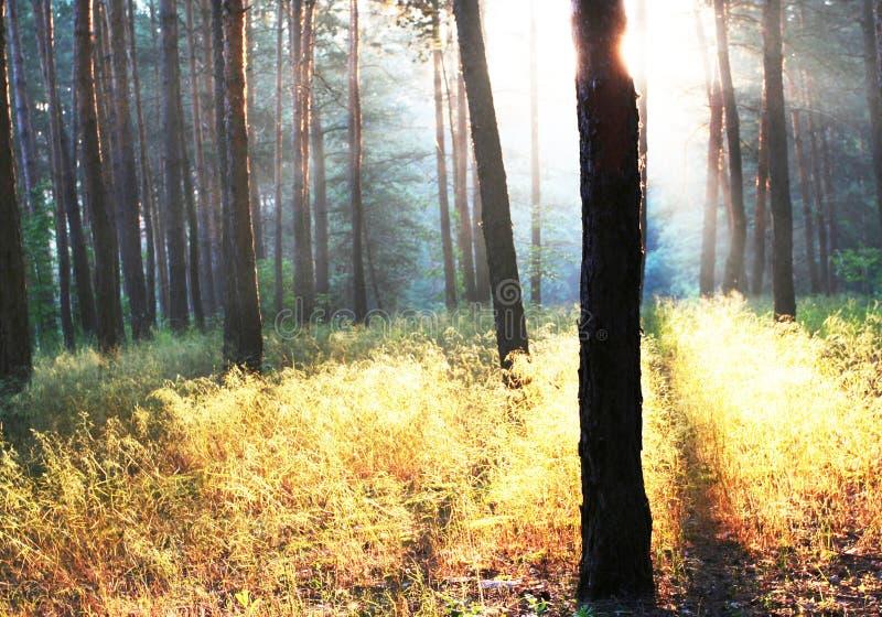 Wald auf Sonnenaufgang stockfotos