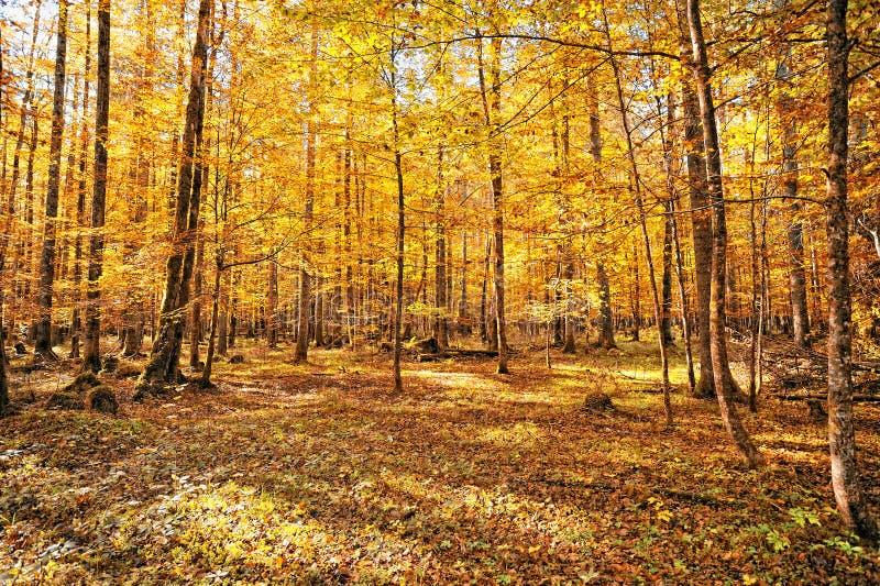 Wald in der Herbst Jahreszeit stockbilder