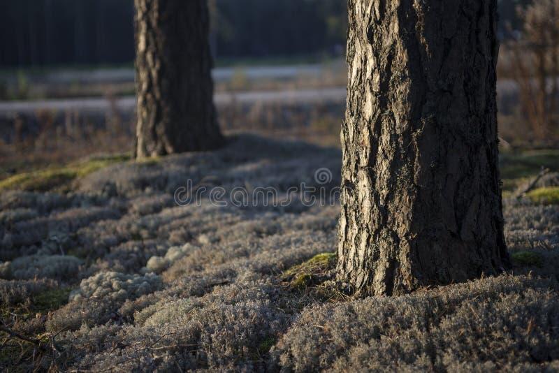 Wald der schottischen Kiefer lizenzfreie stockfotografie