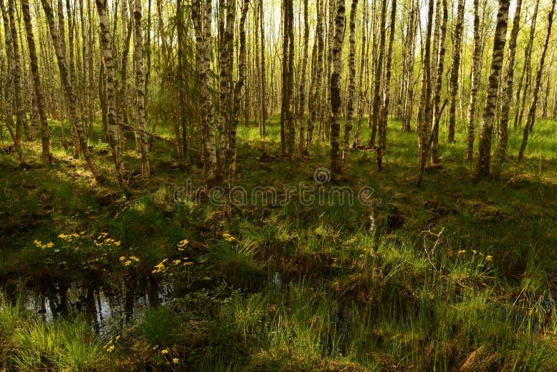 Wald der Suppengr?n im Fr?hjahr im Gr?n des Grases und der bl?henden Wildflowers stockbild