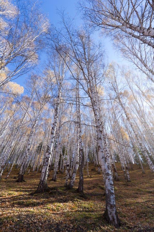 Wald der weißen Birke stockfotos