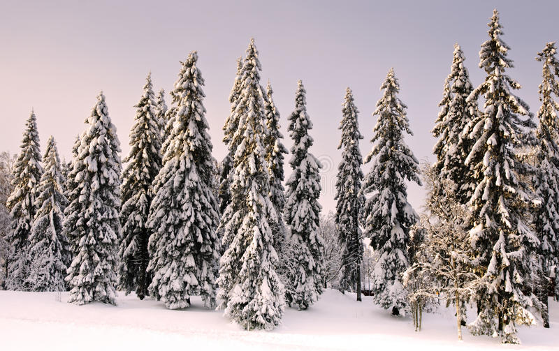 Wald in der Winterzeit mit Schnee auf den Bäumen. stockfoto