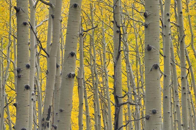 Wald des Goldes stockfotos