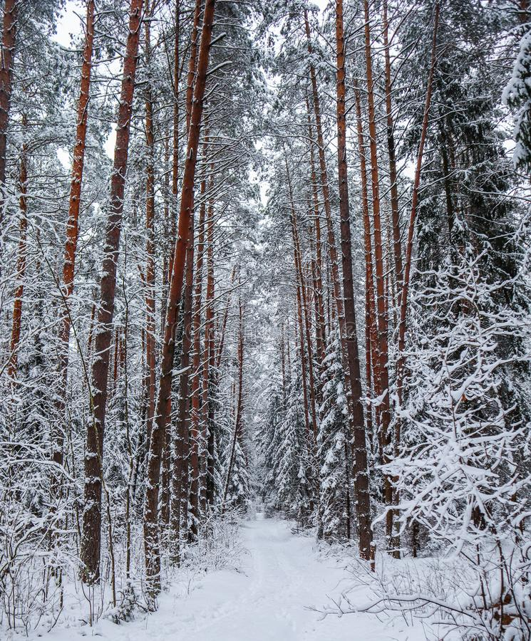 Wald des verschneiten Winters mit einer Linie von schönen Kieferstämmen entlang einem schneebedeckten Weg stockfotos