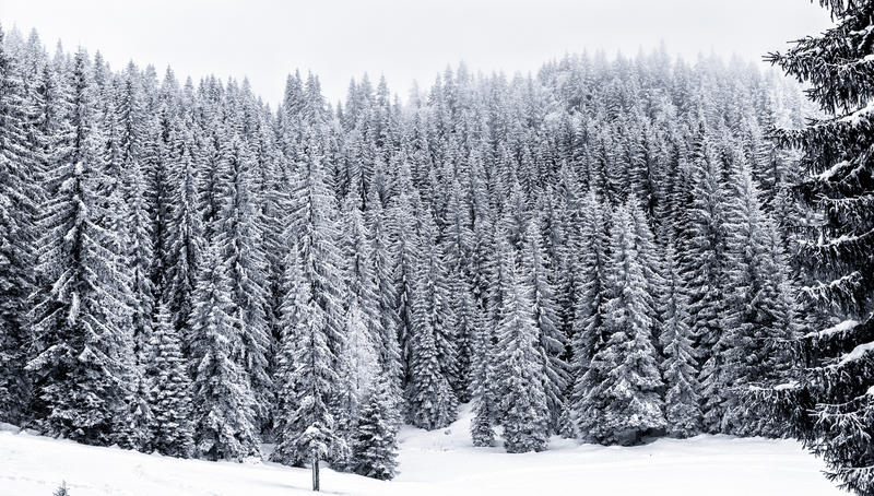 Wald des verschneiten Winters mit Kiefer oder gezierte Bäume bedeckten Schnee stockfoto