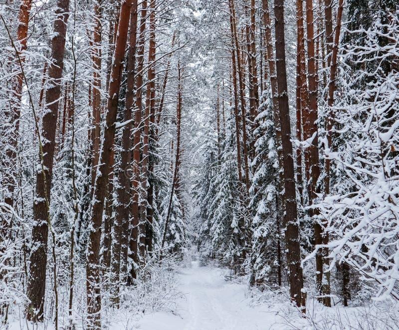 Wald des verschneiten Winters mit schönen Stämmen von Kiefern und von schneebedecktem Weg r stockfotografie