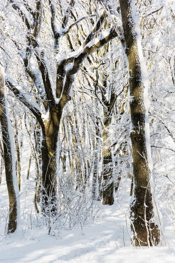 Wald des verschneiten Winters, natürliche saisonalszene stockfotografie