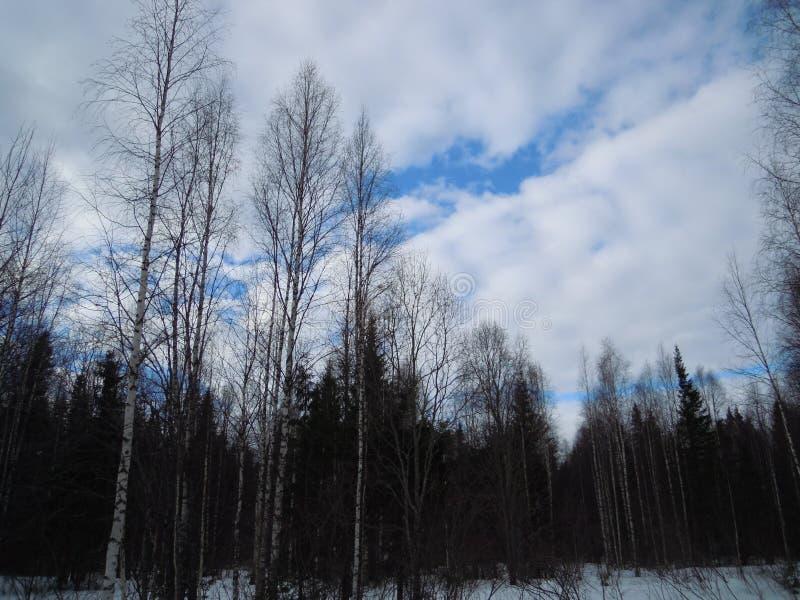 Wald im Schnee mit einem einzigartigen Himmel im Vorfrühling lizenzfreies stockbild