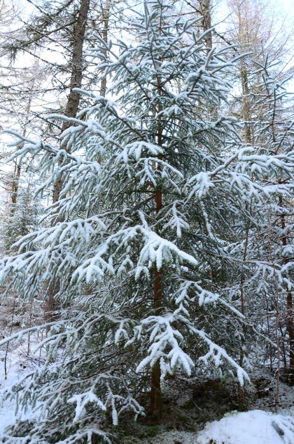 Wald im Winter - ein Perthshire-Wald im Winter lizenzfreies stockbild