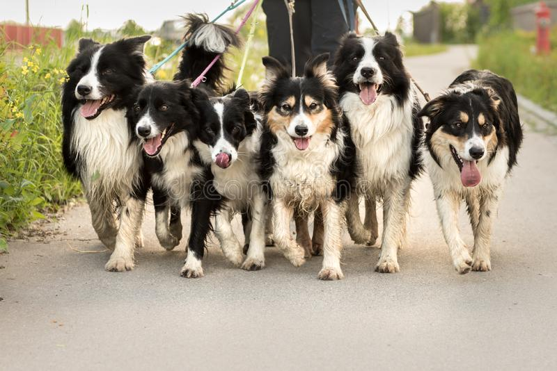Handler with many dogs on a leash. A lot of boerder collies. Woman walks with many dogs on a leash. A pack of obedient Boder Collie walk on a street with their royalty free stock photo