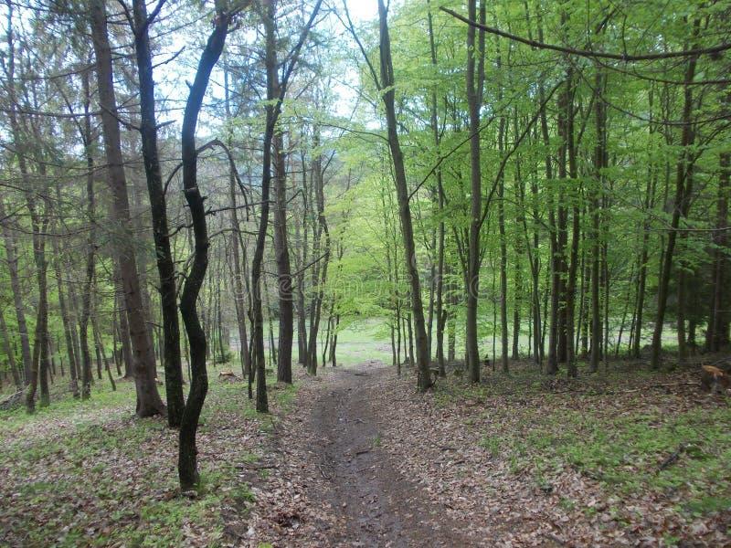 Wald mit Bäumen und Waldweg lizenzfreies stockfoto