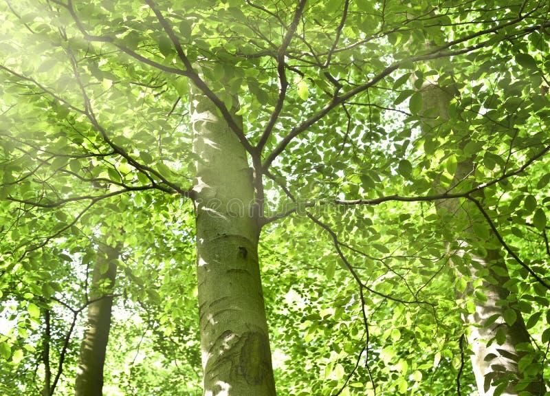 Wald mit Sonnenstrahl lizenzfreie stockbilder