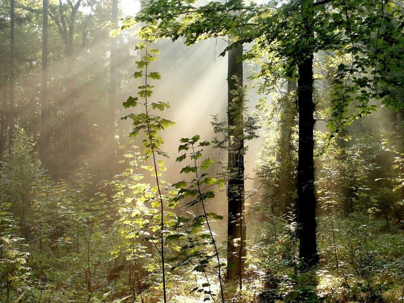 Wald mit Sonnestrahlen durch die Bäume lizenzfreie stockfotografie
