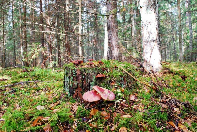 Wald mit Stumpf- und Pilzherbstansicht lizenzfreie stockfotos