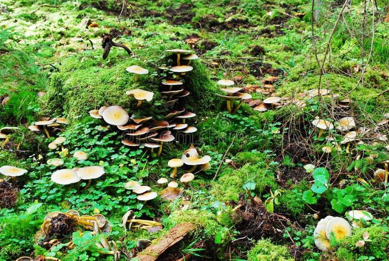 Wald mit Stumpf- und Pilzherbstansicht stockfoto