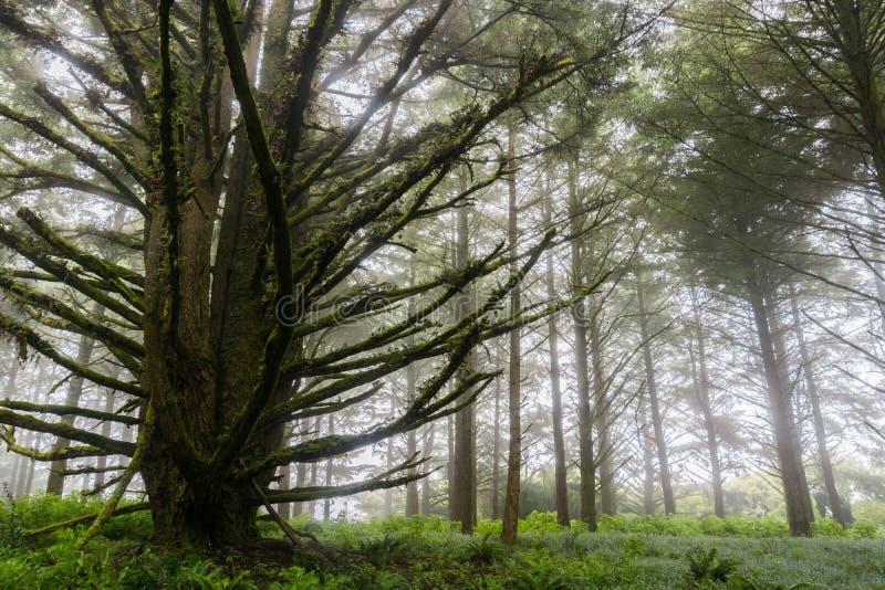 Wald versenkt durch Nebel, San Francisco Bay, Kalifornien lizenzfreie stockfotos