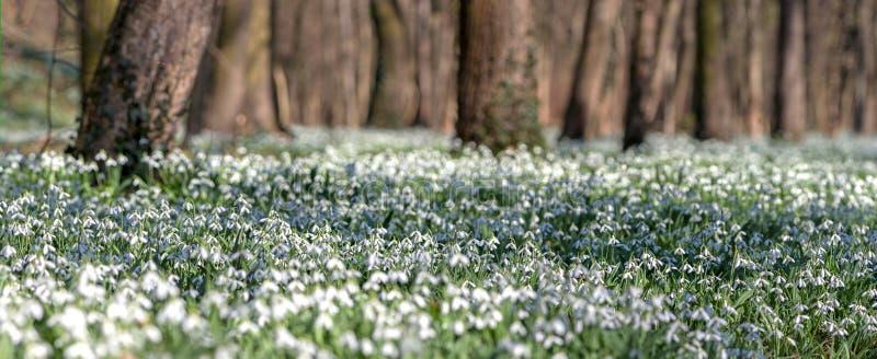 Wald voll des Schneeglöckchens blüht im Frühjahr Jahreszeit lizenzfreies stockbild
