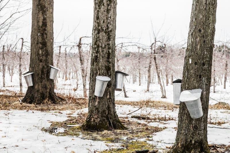 Wald von Ahorn-Safteimern auf Bäumen stockbilder