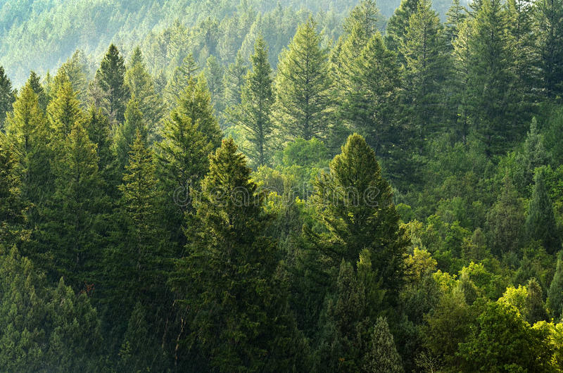 Wald von Kiefern und von Bergen stockbilder