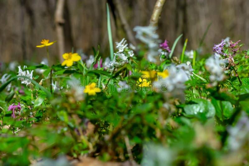Waldboden an einem sonnigen Frühlingstag, umfasst mit Frühlingsblumen bloomings wie dem gelben Buschwindröschen (Anemone ranuncul lizenzfreie stockfotografie