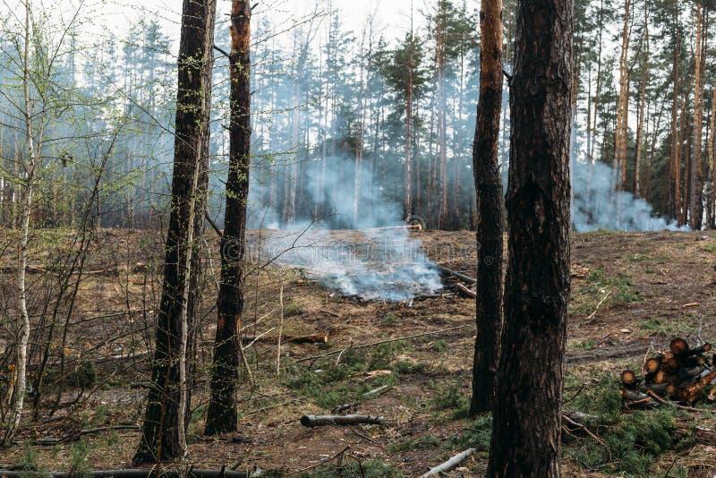 Waldbrand, gesägte Bäume brennen und rauchen nach hölzerner Abholzung, Zerstörung von Koniferenbäumen stockbild
