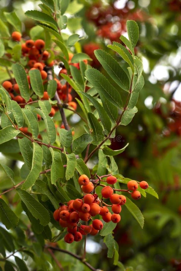 Waldebereschenblätter und -beeren stockfoto
