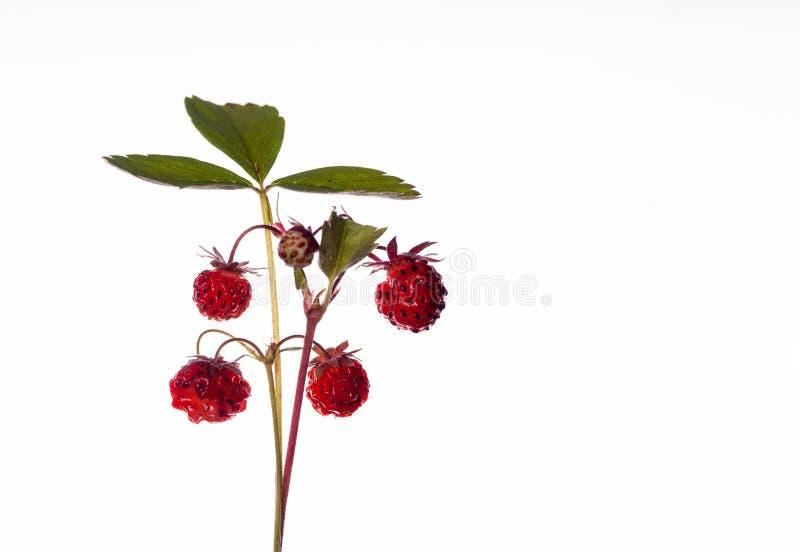 Walderdbeere - Früchte der Natur stockbilder