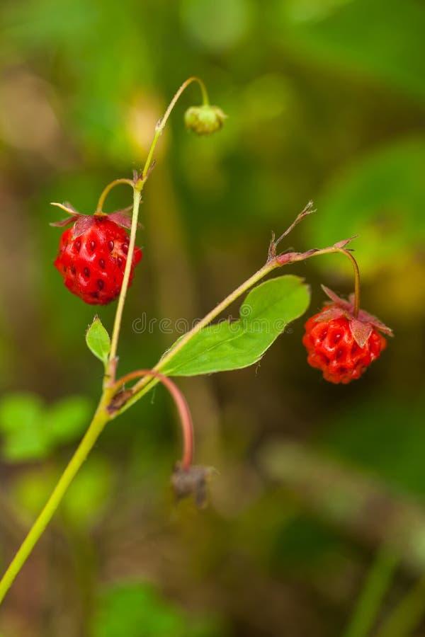 Walderdbeere - Fragaria vesca - reife Beeren auf Grün stockfotografie