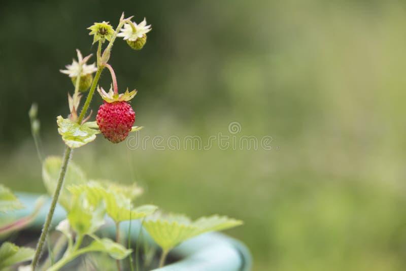 Walderdbeereanlage mit gr?nen Bl?ttern und reifer roter Frucht lizenzfreies stockfoto