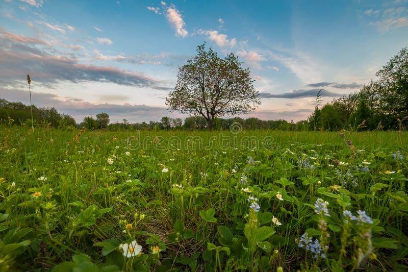 Walderdbeereblumen und einsamer Baum stockbilder