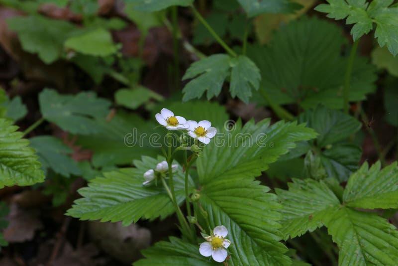Walderdbeeren der weißen Blumen im Wald lizenzfreies stockbild
