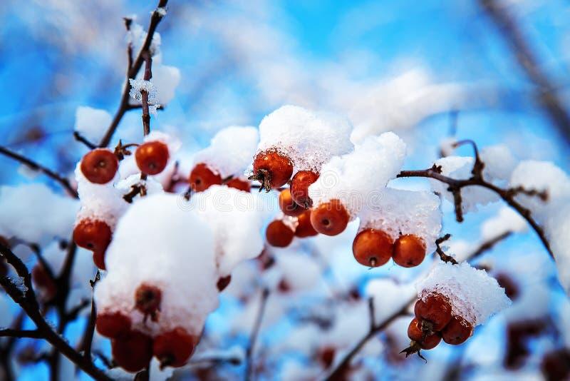 Waldfrüchte bedeckt mit Schnee auf Hintergrund des blauen Himmels stockbild