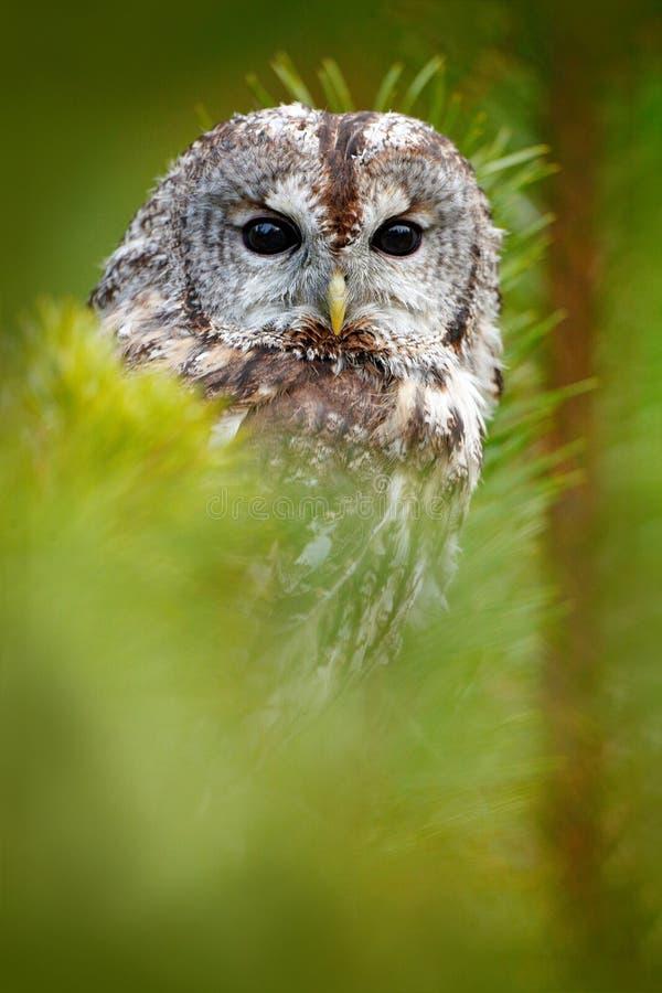 Waldkauz versteckt im Waldwaldkauz, der auf Baumstumpf im dunklen Waldlebensraum mit Fang sitzt Schönes Tier in der Natur lizenzfreie stockfotos