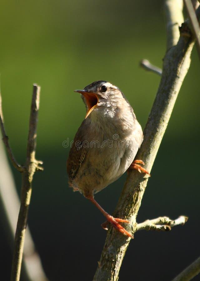 Waldland Wren Singings im Frühjahr, Hampshire lizenzfreie stockfotografie
