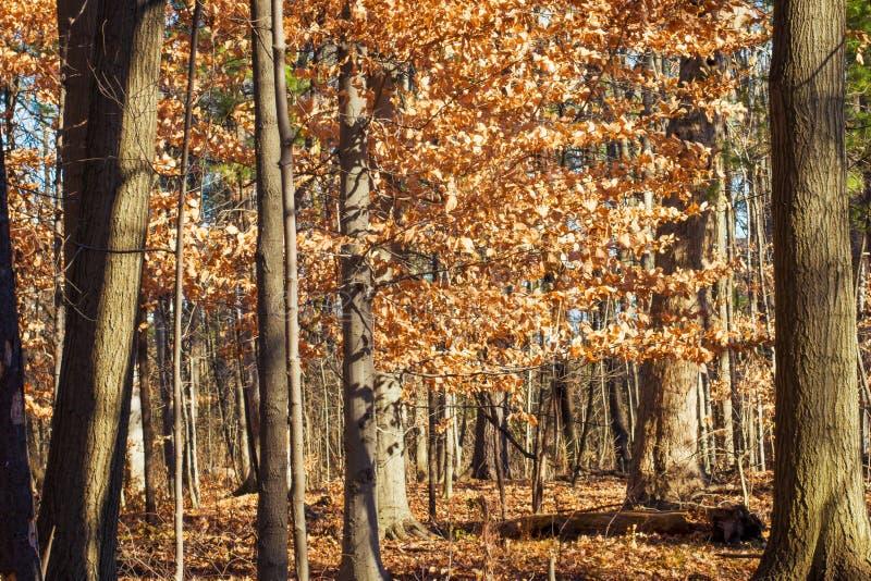 Waldlandschaft im Fall mit Orange verlässt aus den Grund und auf den Bäumen stockfotografie