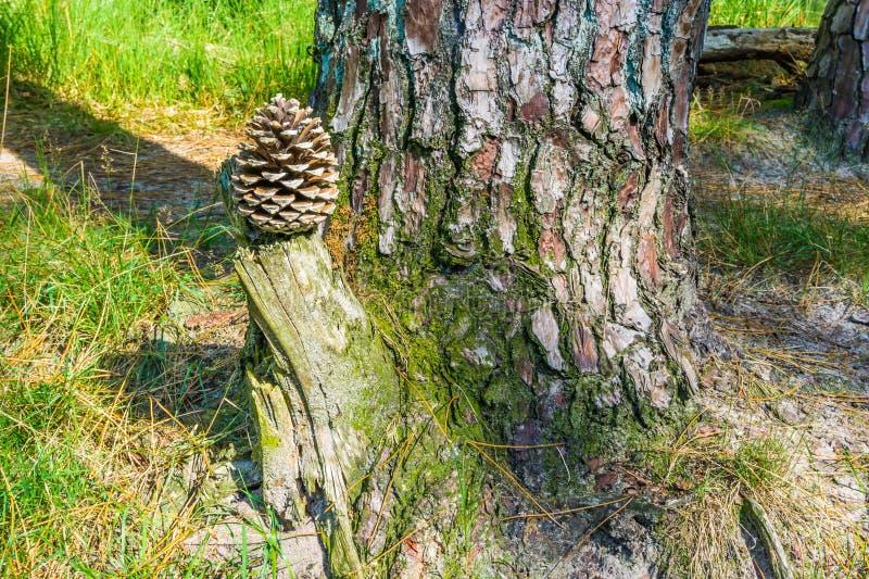 Waldlandschaftshintergrund-Kiefernkegel, den ein Baumstumpf mit Baum wurzelt stockfotografie