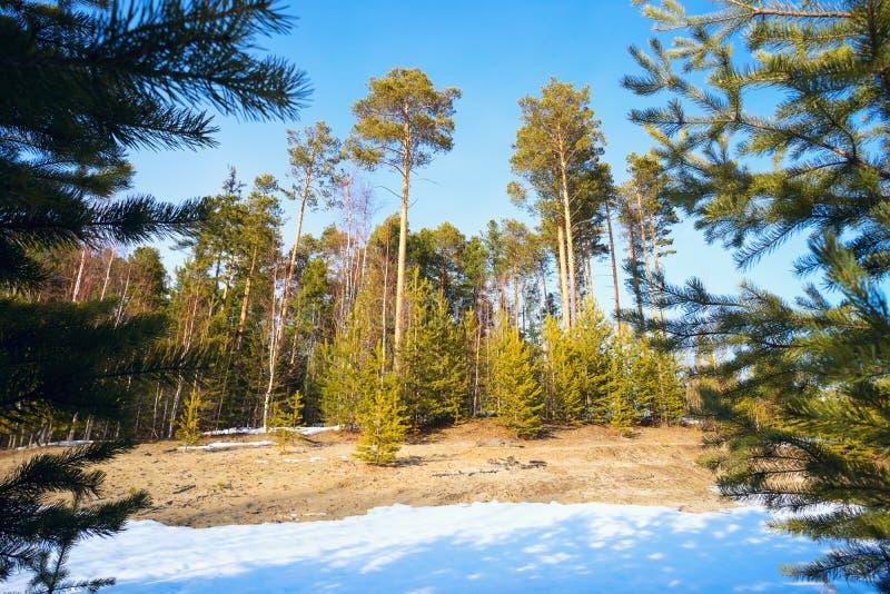 Waldlichtung mit den jungen und hohen Kiefern im Vorfrühling stockbilder