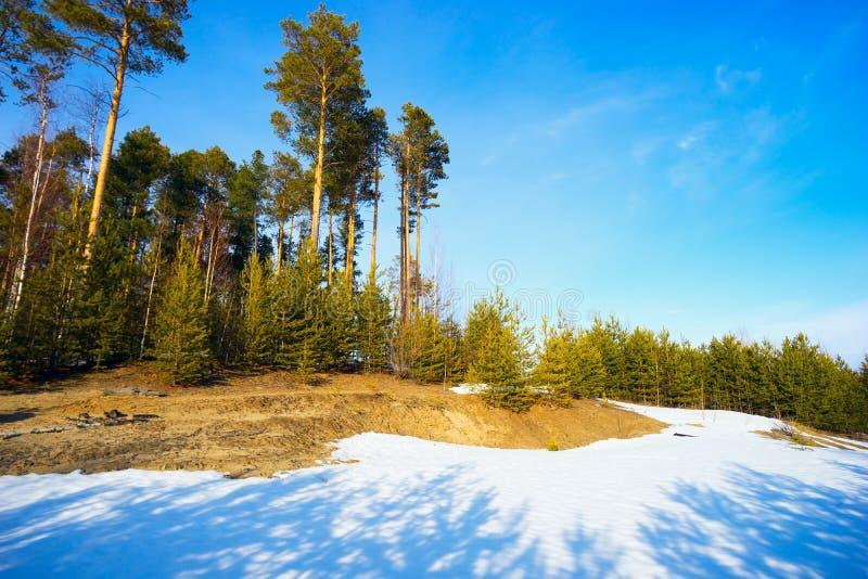 Waldlichtung mit den jungen und hohen Kiefern im Vorfrühling stockfoto