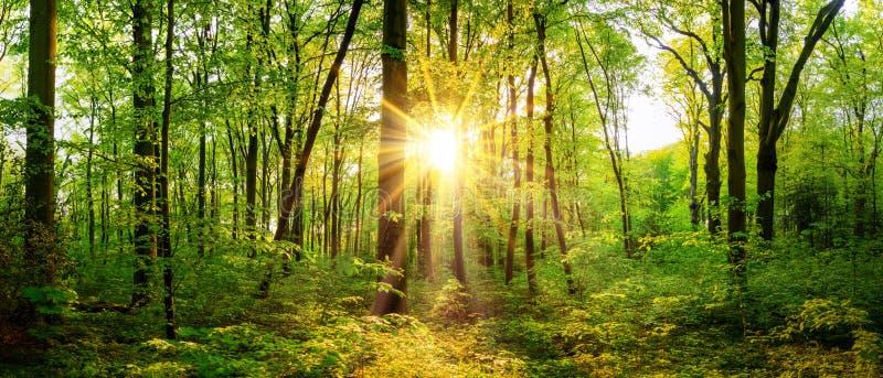 Waldpanorama mit hellem Sonnenschein und großen Bäumen stockfoto
