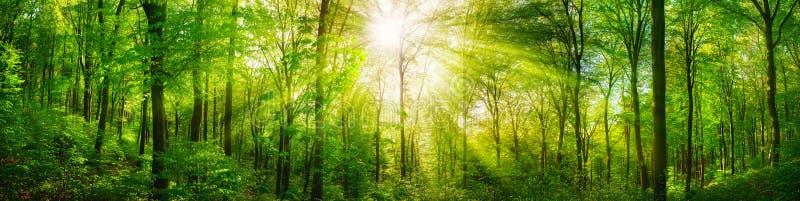 Waldpanorama mit warmen Sonnenstrahlen stockfotografie