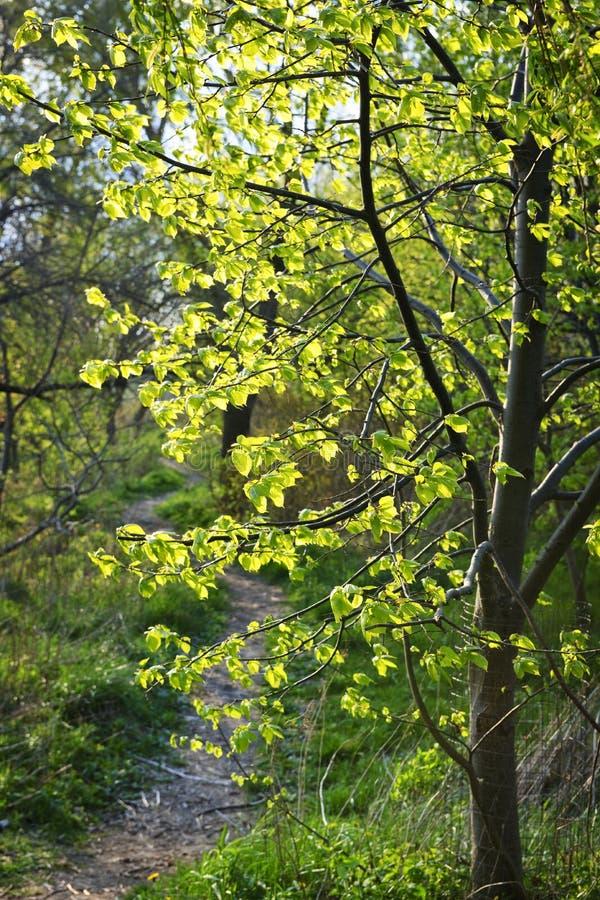 Waldpfad mit von hinten beleuchtetem Lindenbaum lizenzfreies stockbild