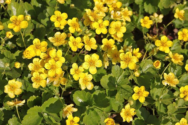 Waldsteinia ternata 免版税库存图片