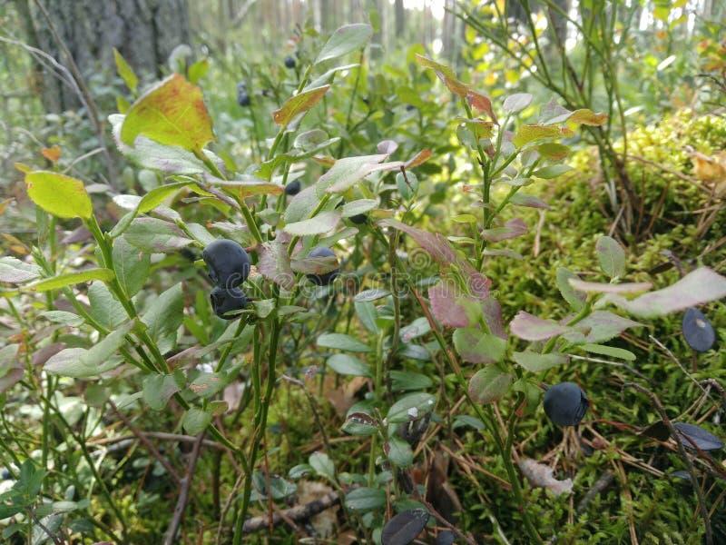 Waldsumpf Bush beerbt Lebensmittel Heidelbeeren Büsche Grünpflanzen Gras lizenzfreie stockbilder