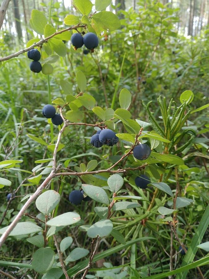 Waldsumpf Bush beerbt Lebensmittel Heidelbeeren Büsche Grünpflanzen Gras stockfoto
