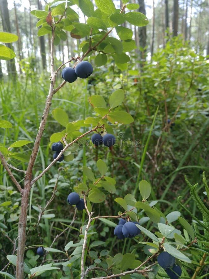 Waldsumpf Bush beerbt Lebensmittel Heidelbeeren Büsche Grünpflanzen Gras stockbild